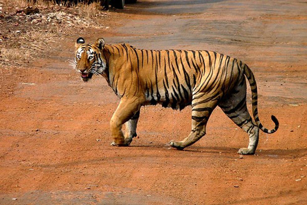 Wild Tigers Are Making a Comeback