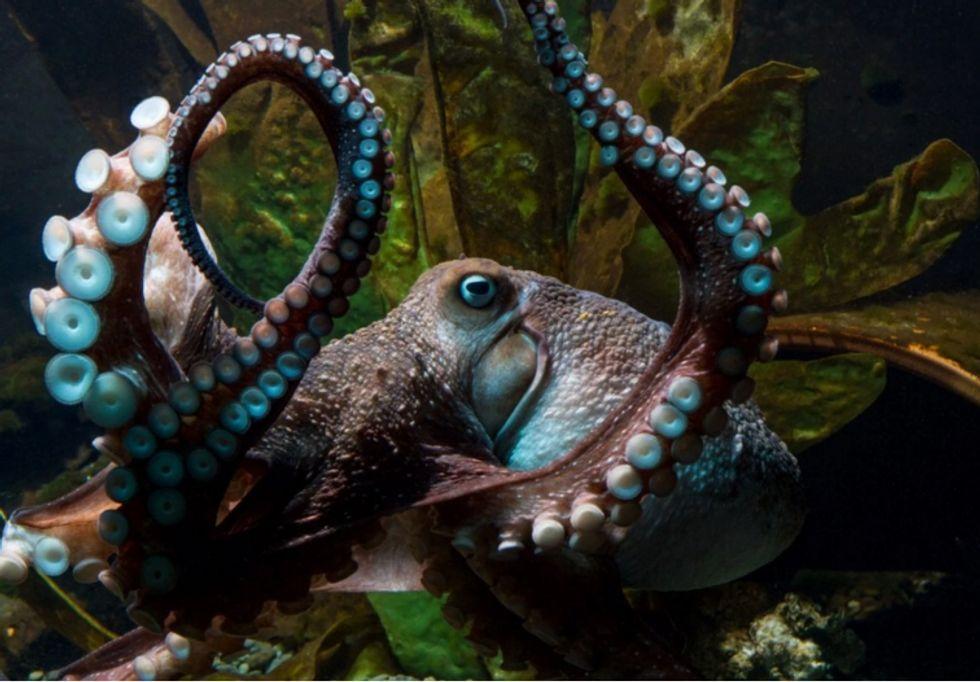 Octopus Pulls Off Dramatic Aquarium Escape