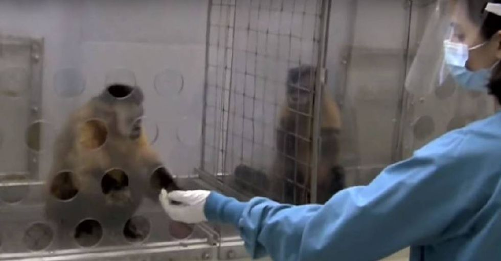 Primatologist Shows That Monkeys Believe In Equal Pay For Equal Work