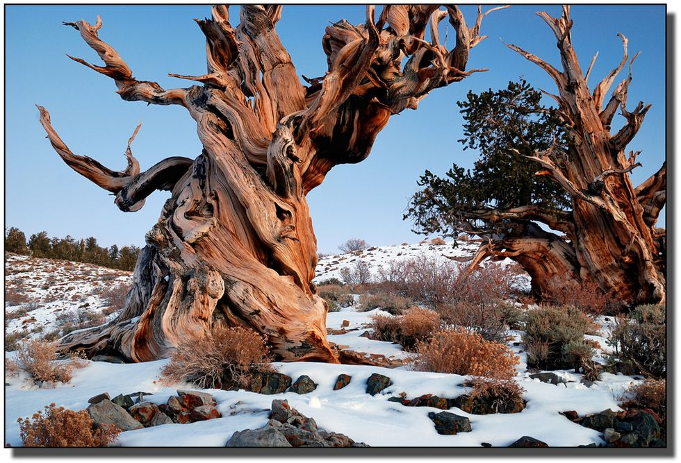 U.S. Government Is Keeping Location Of World's Oldest Tree A Secret