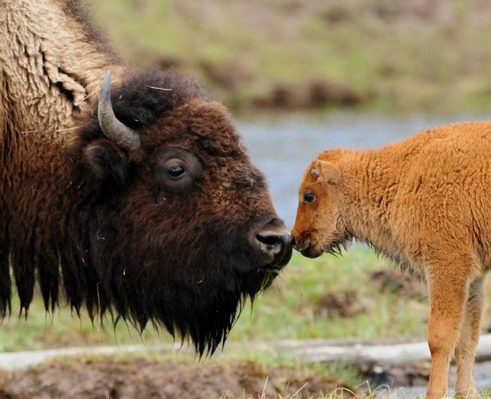 Make Room, Eagle: The Bison Will Be Our New National Mammal