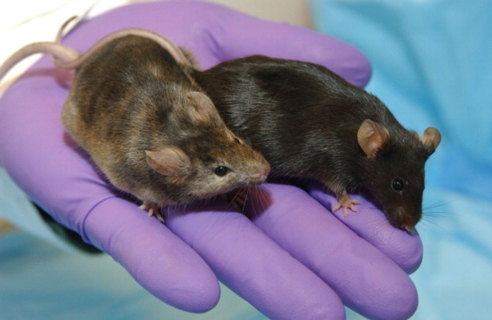 "Probiotics Found To Reverse ""Autism-Related"" Behavior In Mice"