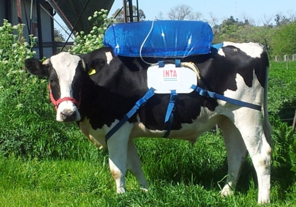 Fart-Collecting Backpacks For Cows Look Silly, But They May Have A Serious Impact