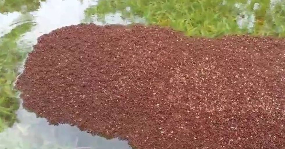 Floating Fire Ant Colonies Are Terrifying People In Texas
