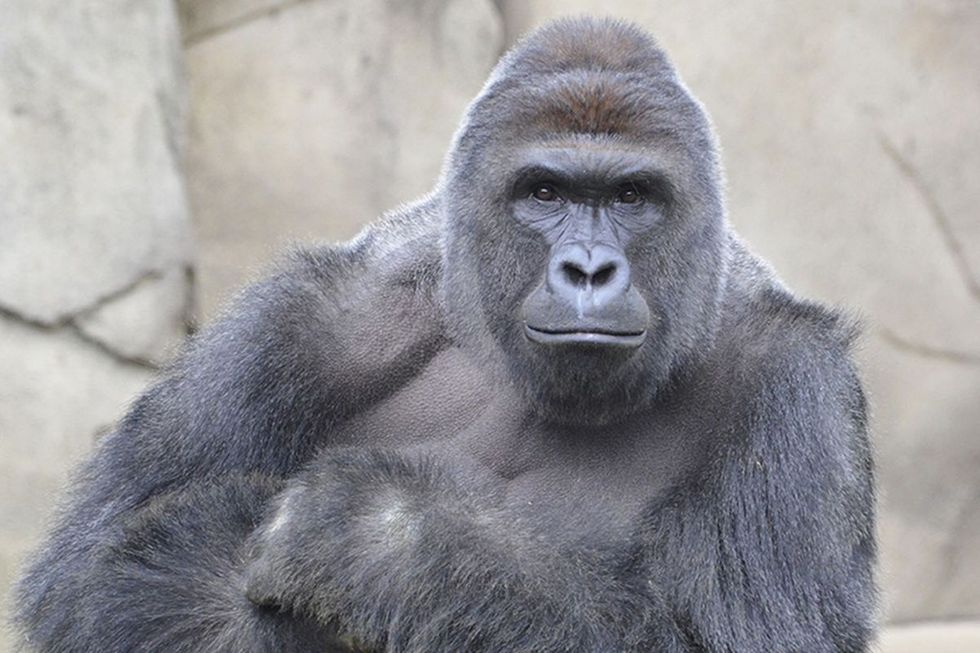 Harambe Isn't The Perfect Meme—It's A Racist One