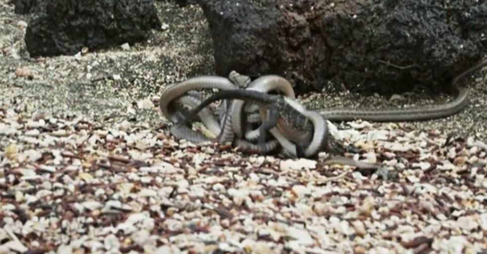 A Baby Iguana Fights Off Dozens Of Attacking Snakes In This Amazing Nature Clip