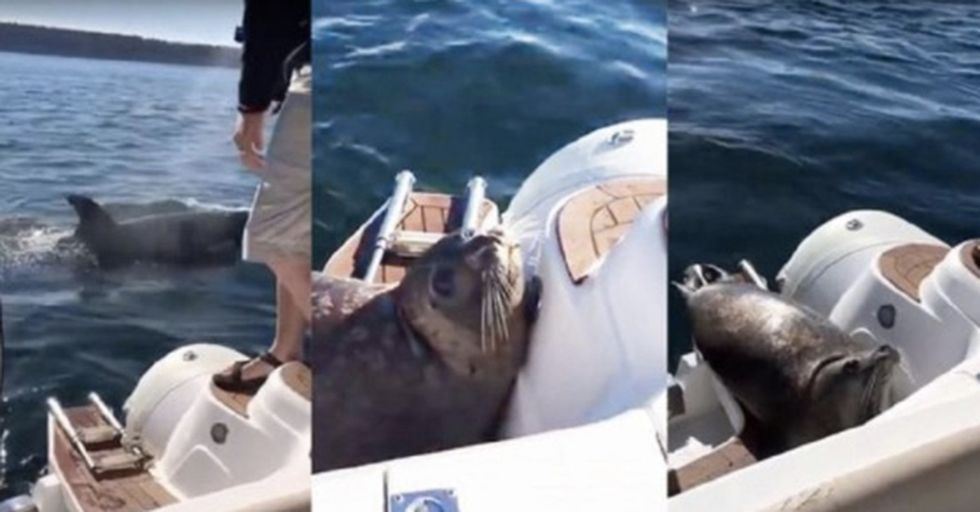 Random Act Of Sport: Seal Channels Its Inner High Jumper To Avoid Being Eaten By Killer Whales