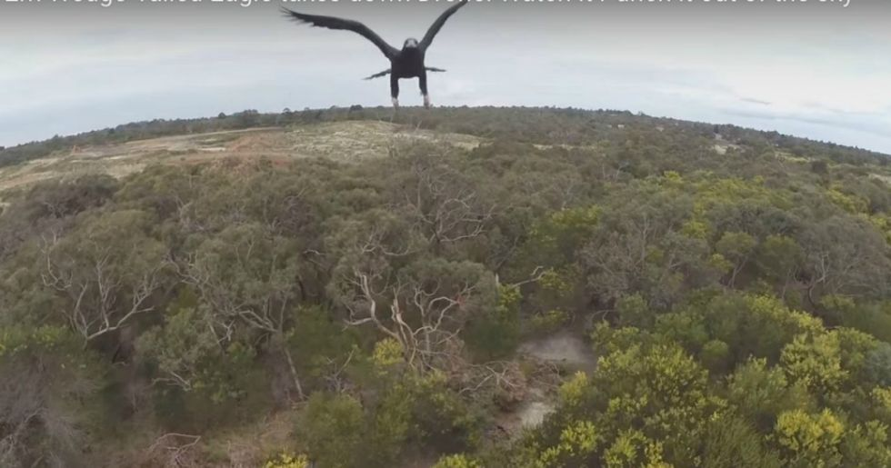 France Is Using Live Eagles To Attack And Remove Terrorist Drones From Its Skies