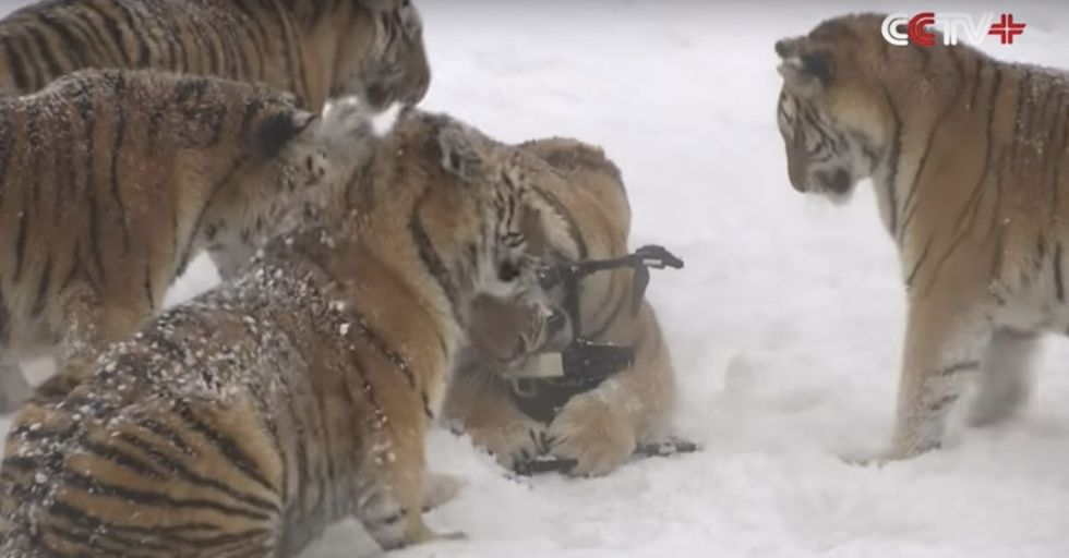 A Pack Of Tigers Hunts Down An Airborne Drone In This Stunning First-Person Footage
