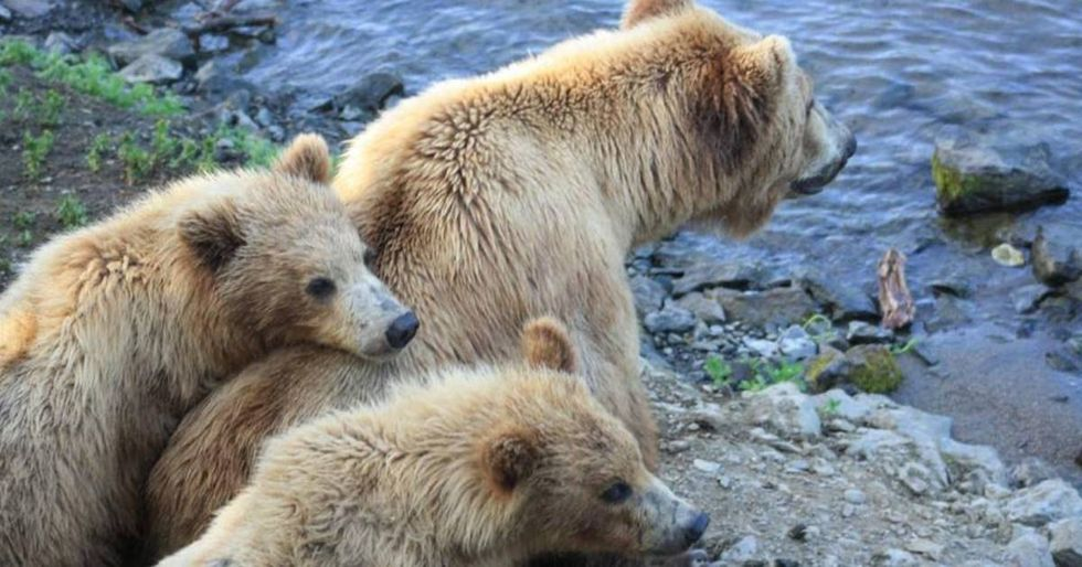 Trump Overturns Obama-era Order Preventing Hibernating Bears From Being Hunted