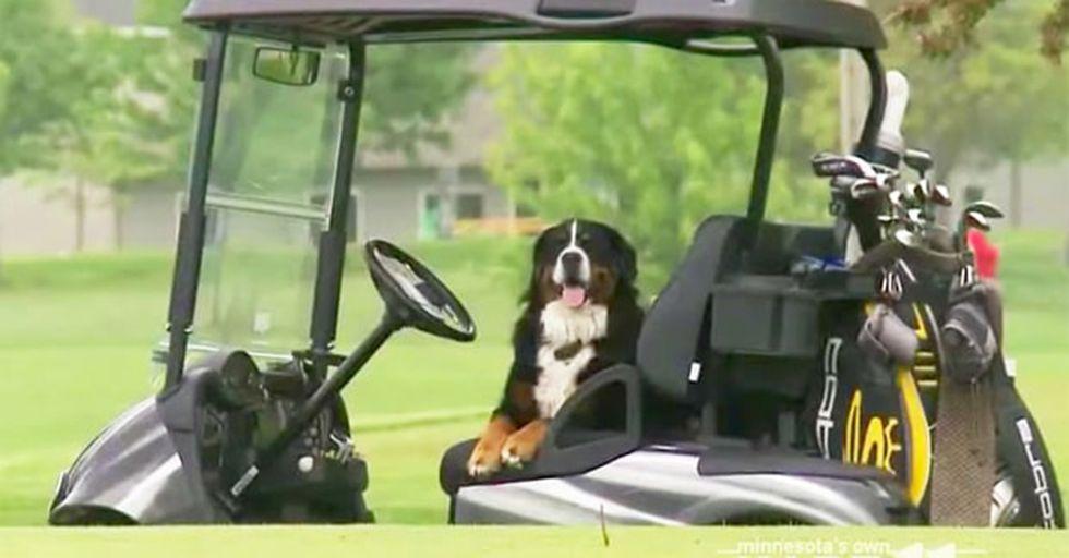 Adorable Golf Ball Retrieving Dog Raises Money For Charity
