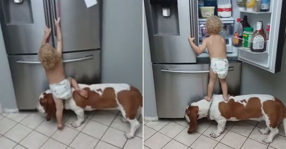 A Toddler And His Dog Are Teamwork Exemplified As They Steal Food Out Of The Fridge