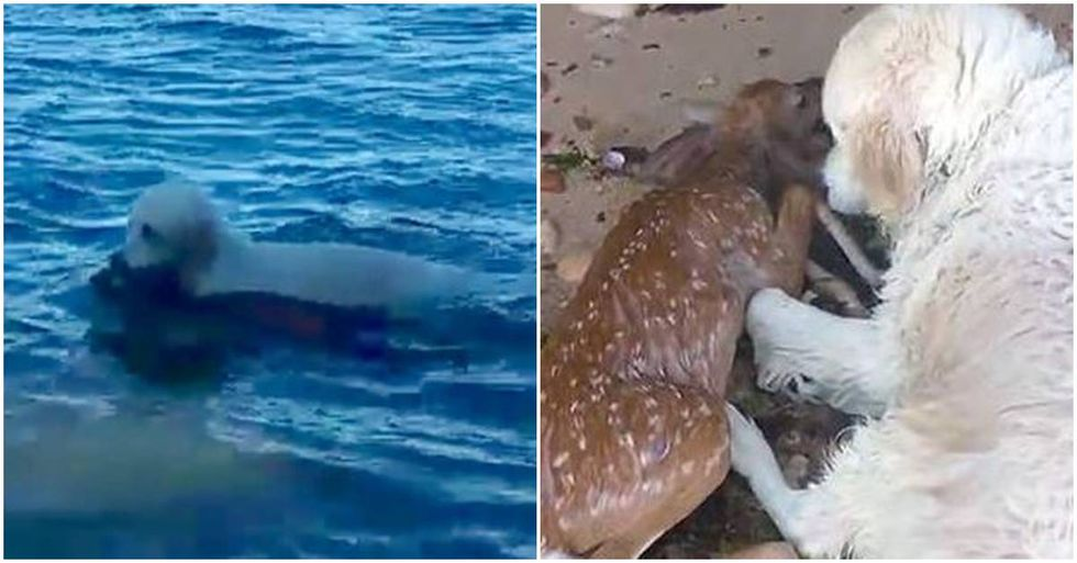 Courageous Dog Saves A Drowning Fawn