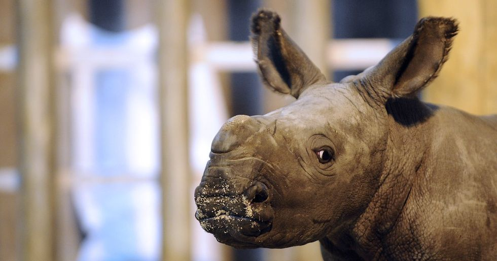 Scientists Hope To Breed Another Northern White Rhino Through In Vitro Fertilization