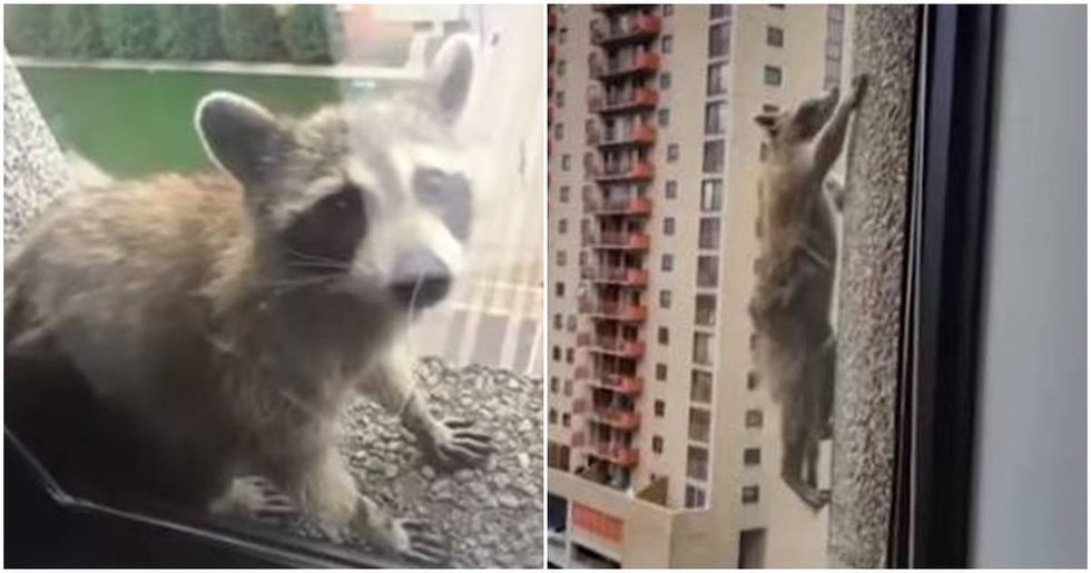 A Heroic Raccoon Captured The World's Attention By Scaling A 23-Story Building