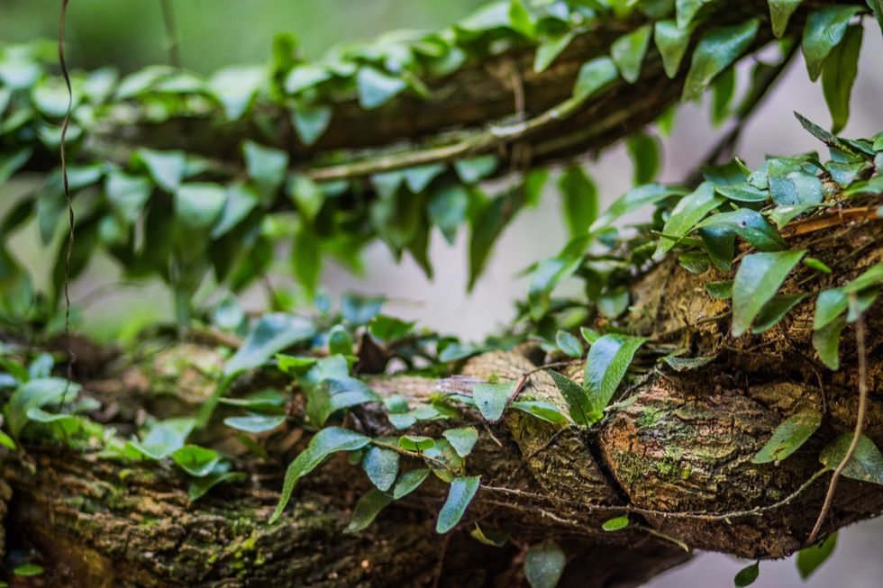 Amazonian PsychedelicAyahuasca May Ease Severe Depression, New Study Shows