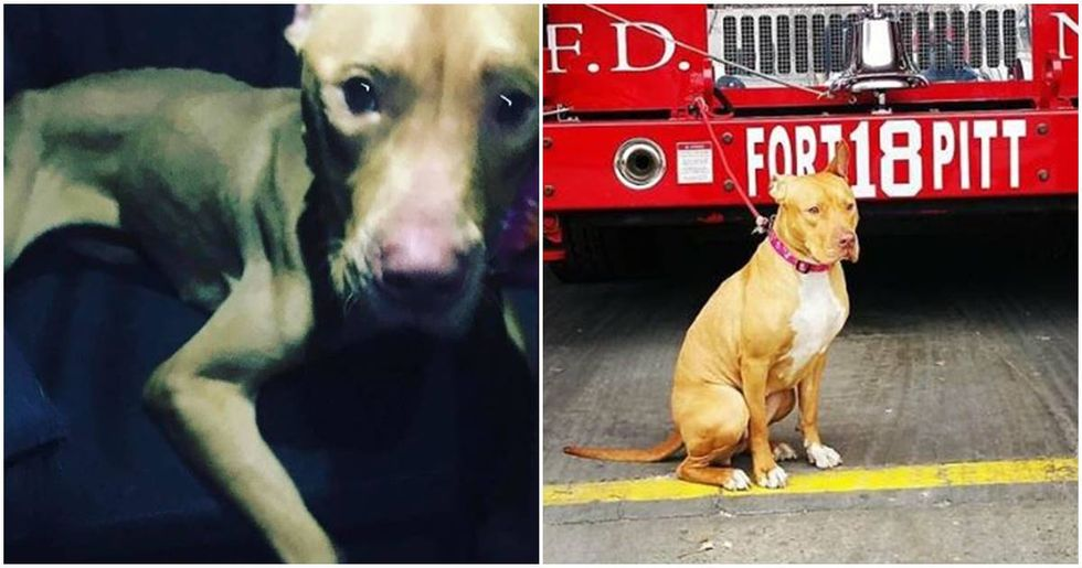 After being abandoned in a crack house, this pit bull became an honorary member of the FDNY.