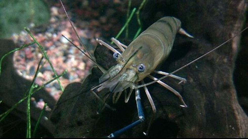 The Crustacean Cure for one of the World's Worst Parasites