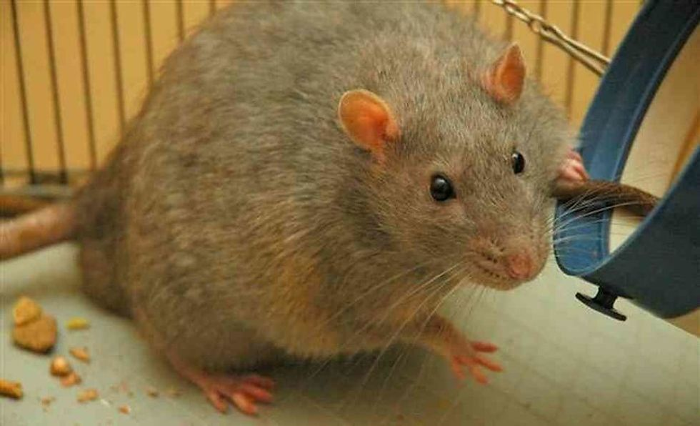Flabby Lab Rats Now Fab After New Obesity Treatment