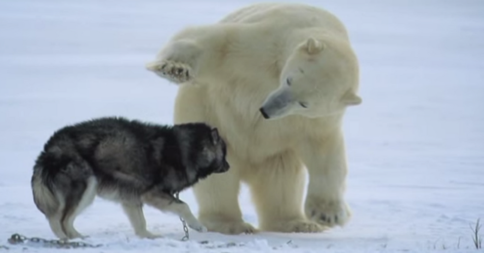 Starving Polar Bear Encounters a Pack of Sled Dogs. Things Get Interesting.