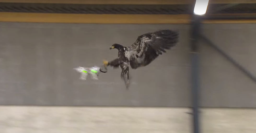 Police Are Training Eagles To Snatch Drones From The Sky
