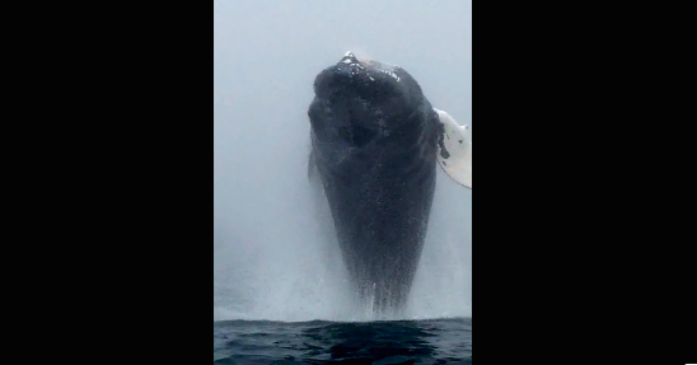 Amazing Whale Leap Captured on Video