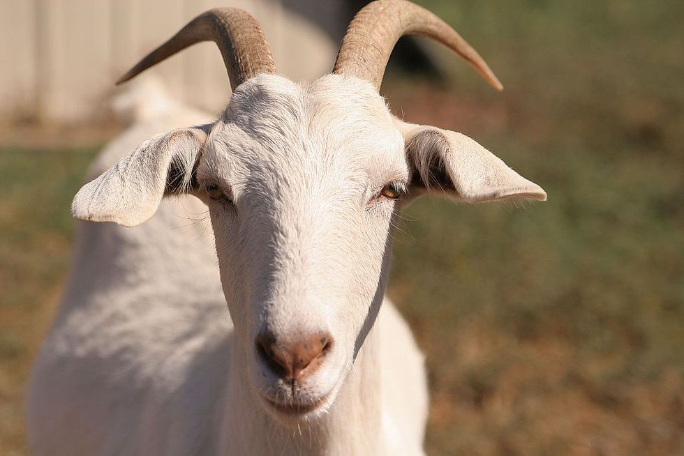 How Goats and School Supplies Aid the Fight Against Child Marriage