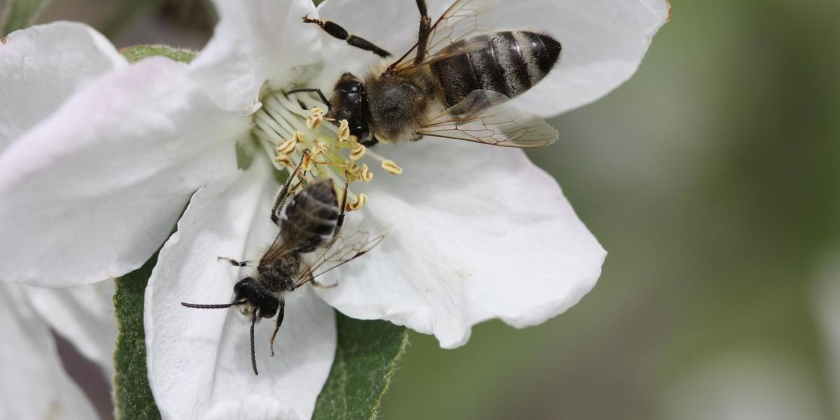 Monoculture farming is not good for bees: Study