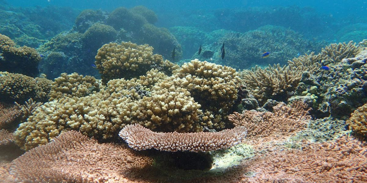 """""""A friend is gone:"""" Handpicking hardy corals to save them from warming waters"""