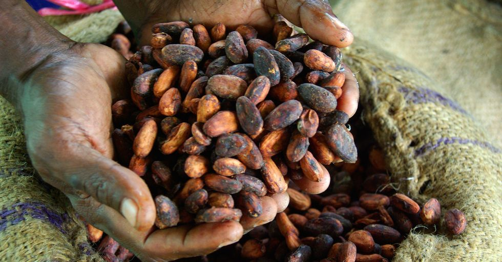 Scientists Quarantining Cocoa to Save the Future of Chocolate