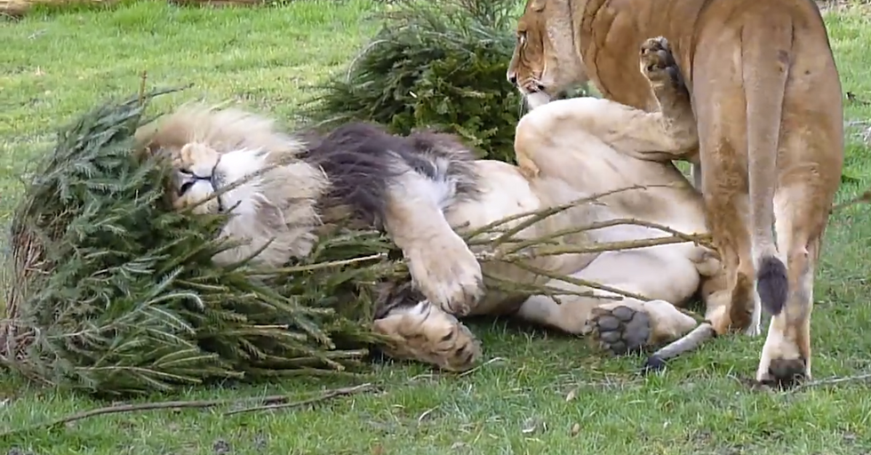 Upcycle Old Christmas Trees as Cat-Nip for that Special Lion in Your Life