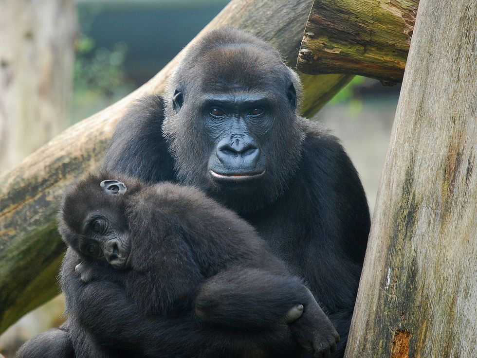 Ebola's Other Victims: One-Third of the World'sGorillas and Chimpanzees