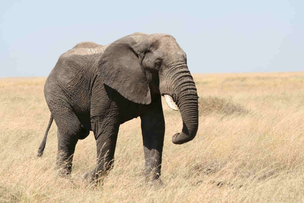 The Great Elephant Census Aims to Count Every Elephant in Africa