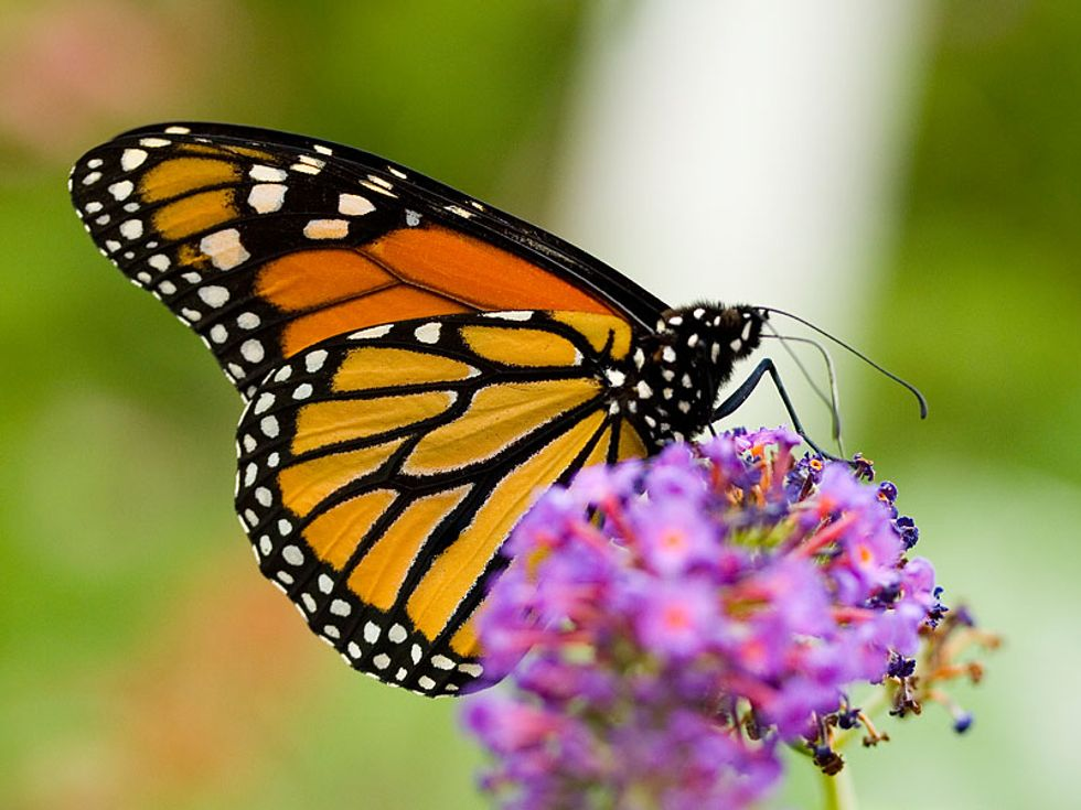 The Campaign to Save the Nearly One Billion Lost Butterflies