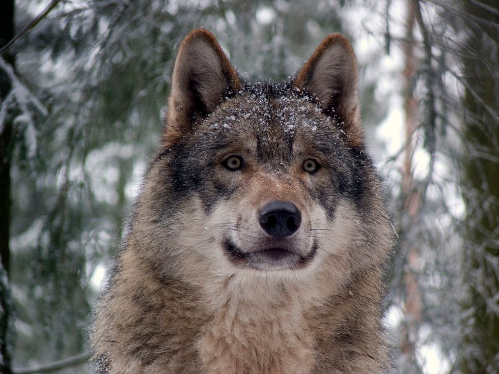 Lessons From the Brief, Lonesome Life of Echo the Wolf