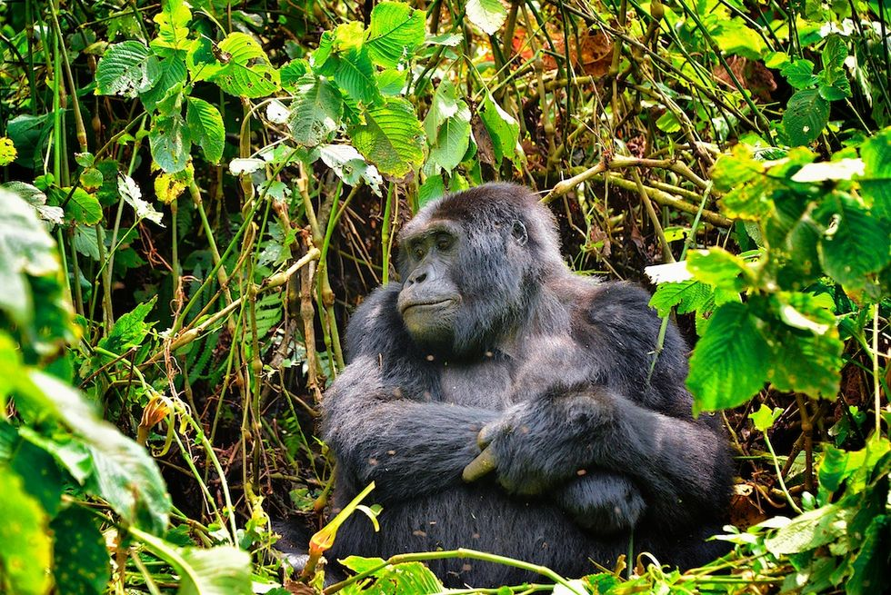 Are Poop-Sniffing Dogs The Key To Saving TheseRare Gorillas?