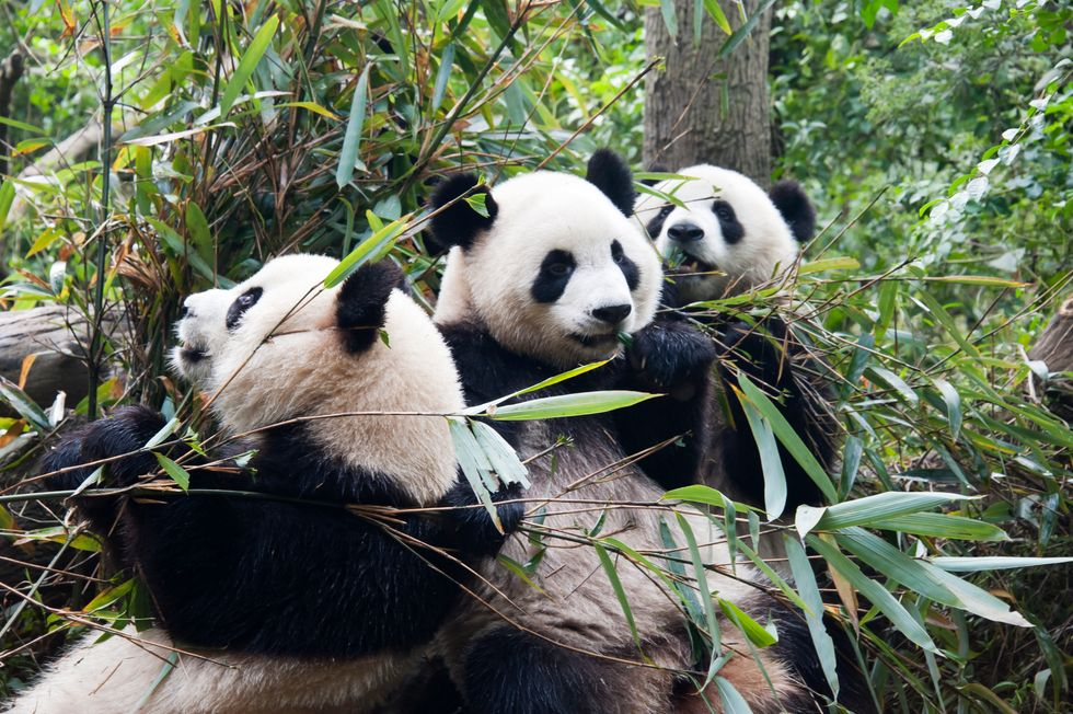 Wild Pandas Are Wildly Misunderstood by Most Humans