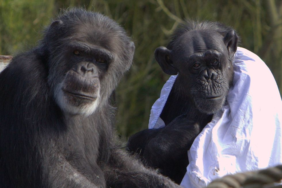 Apes: They're Just Like Us (When it Comes to Following Pointless Fads)