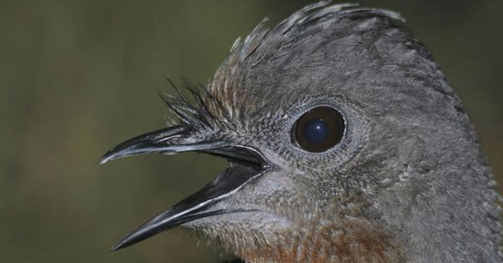 """Hear """"Nature's Greatest Mimic""""Imitate the Sound of Chainsaws Destroying Its Habitat"""