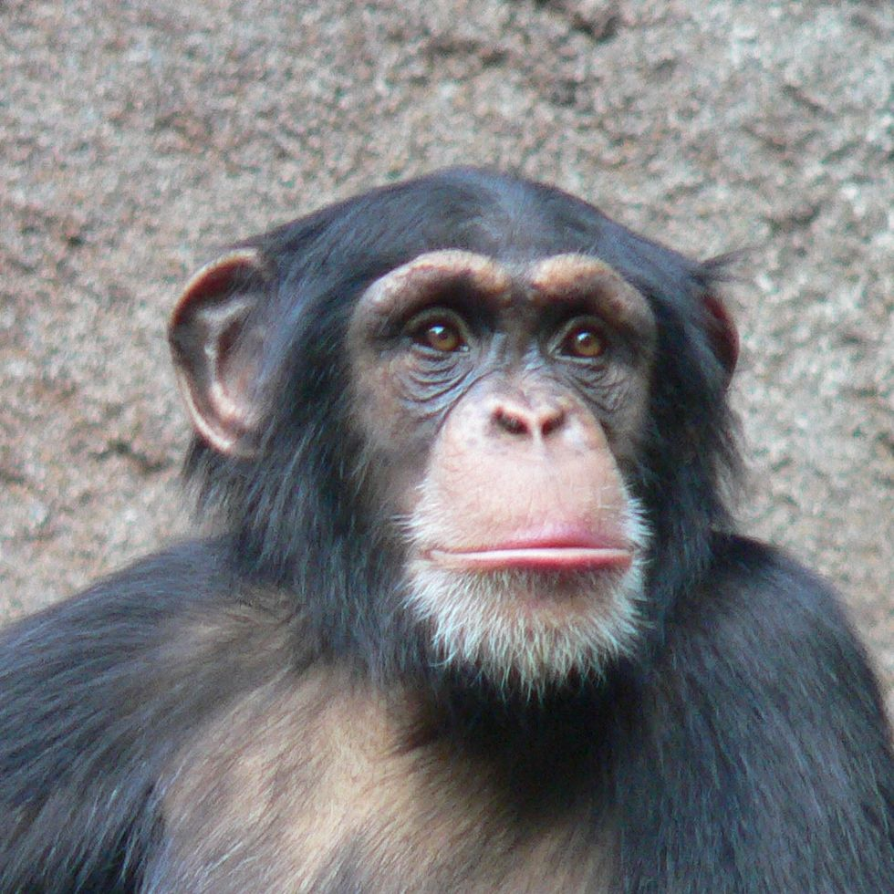 Court Decision Implies Possible Legal Personhood for Chimps (UPDATED)