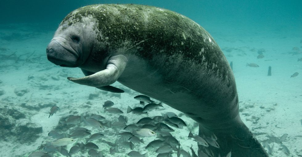 Manatees Are Not Dying Out as Quickly as Before