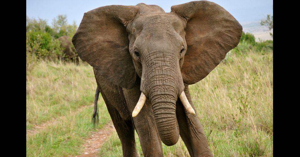 New Program Teaches Elephants to Avoid Poachers by Using Their Sense of Smell