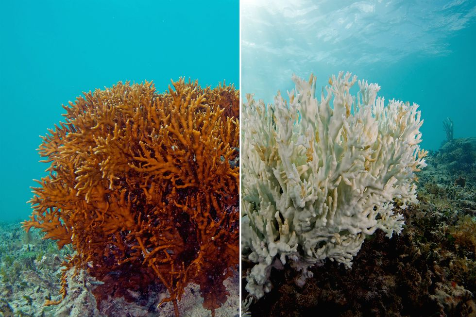 The Great Barrier Reef Is Being Bleached To Death
