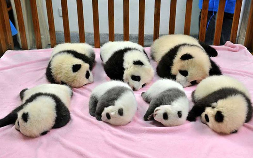 This Adorable Panda Daycare Seeks to Save Endangered Species