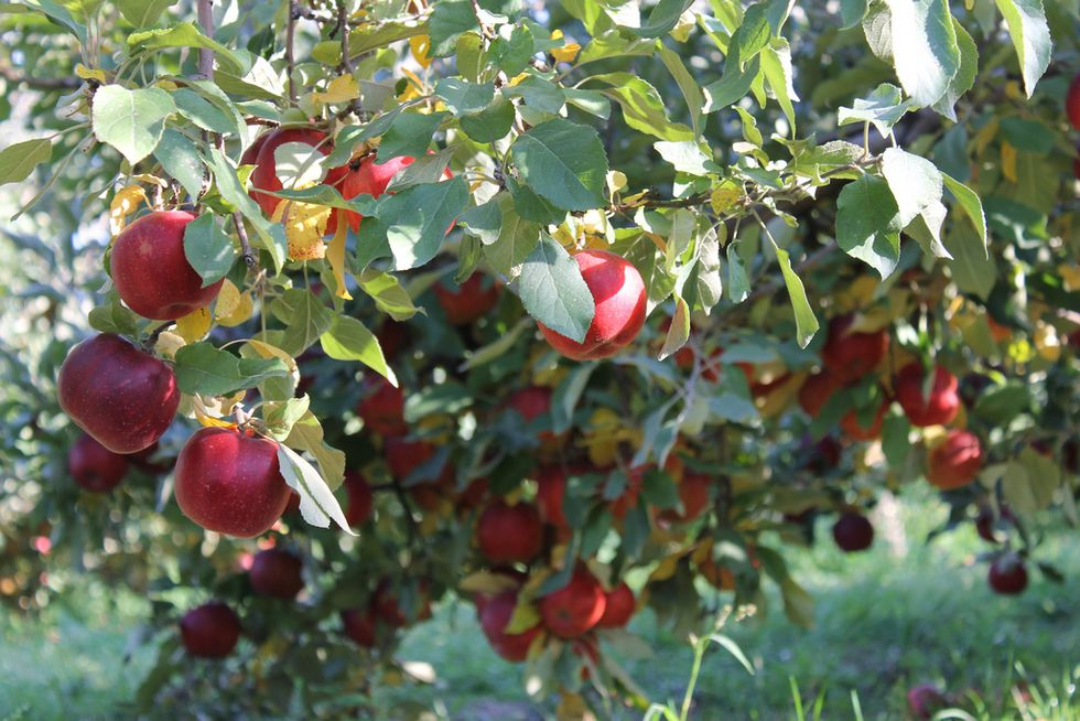 Fall In Love with Organic Jonagold Apples