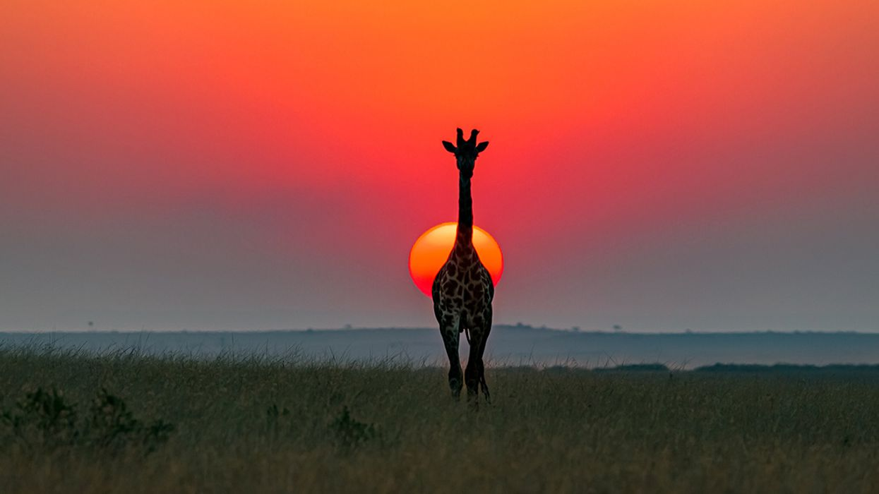Scientists Declare One of Largest Giraffe Subspecies Endangered