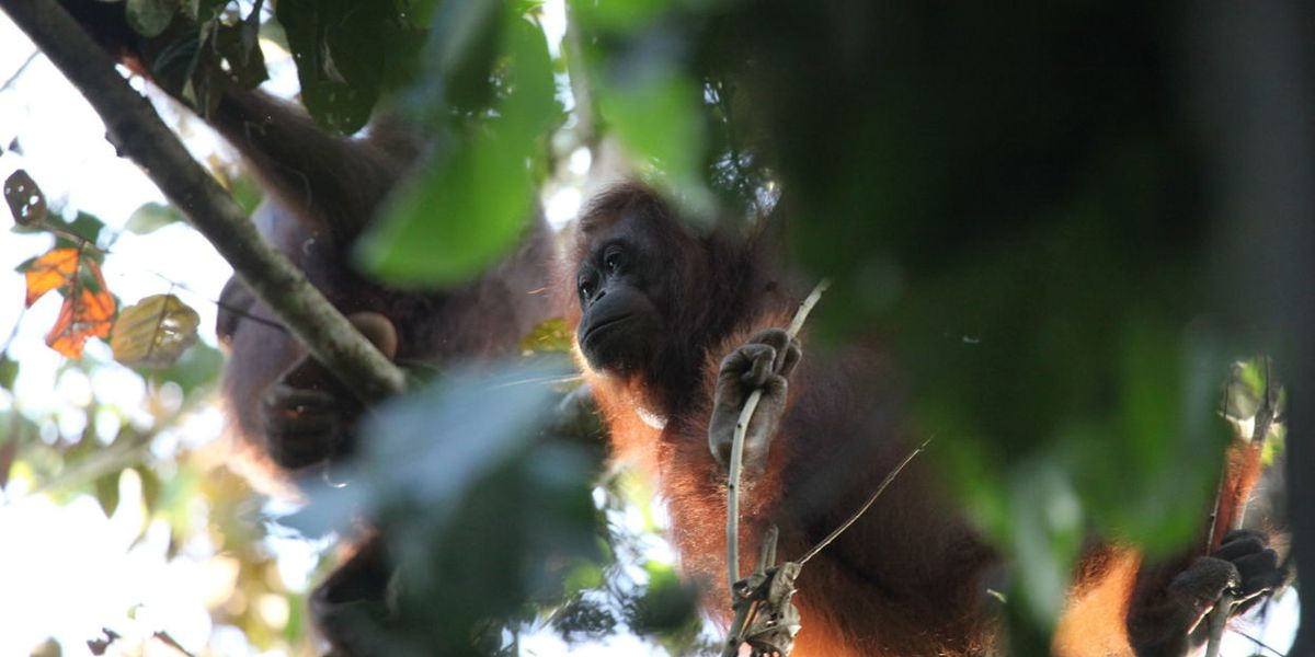 Balancing palm oil and protected forests to conserve orangutans