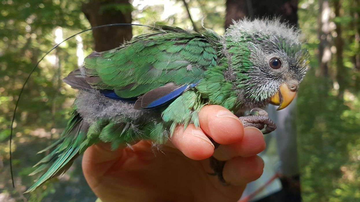 New Zealand's Rarest Mainland Forest Bird Is Having an 'Epic' Breeding Season