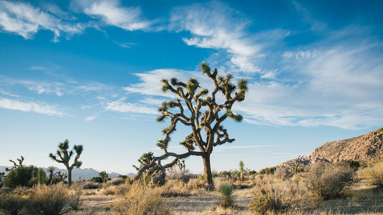 The Iconic Joshua Tree Is in Trouble