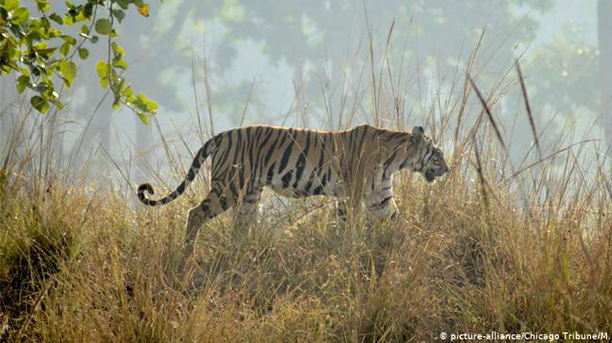 India's Tiger Population Grows to 3,000 in Conservation Boost